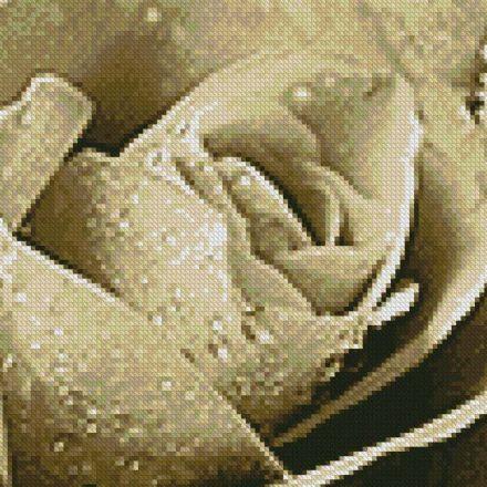 Donkey Brown Rose