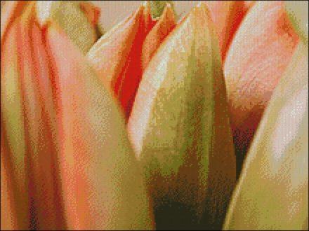 Oranje Tulpen Closeup