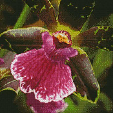 Zygopetalum Orchidee patroon